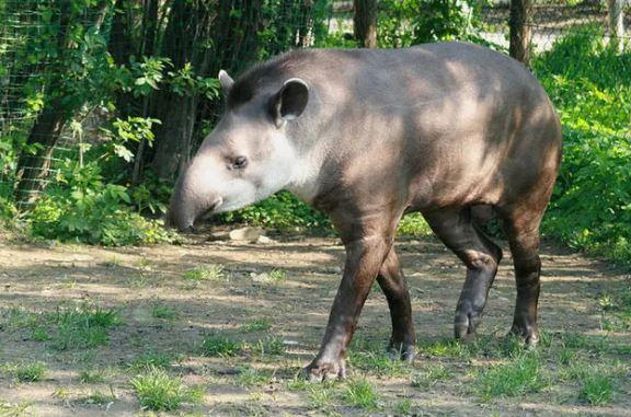 tapír
